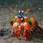 """El camarón pistola o """"Mantis Shrimp"""""""