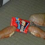 Isópodos Gigantes
